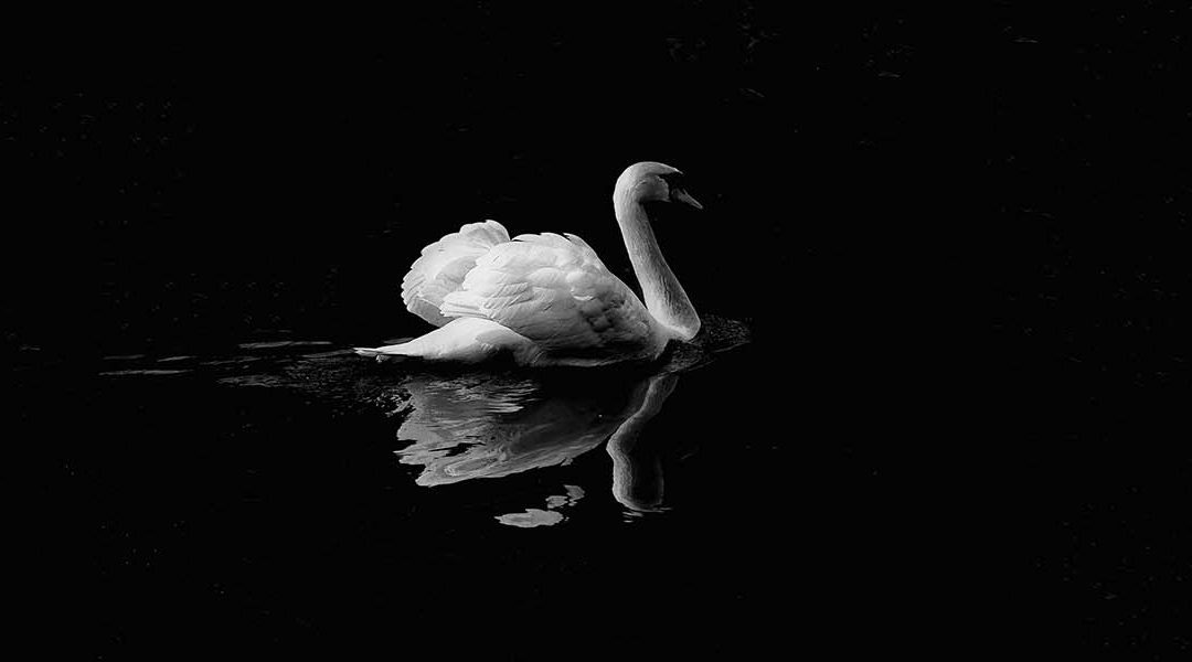 Professional Photograph of Swan